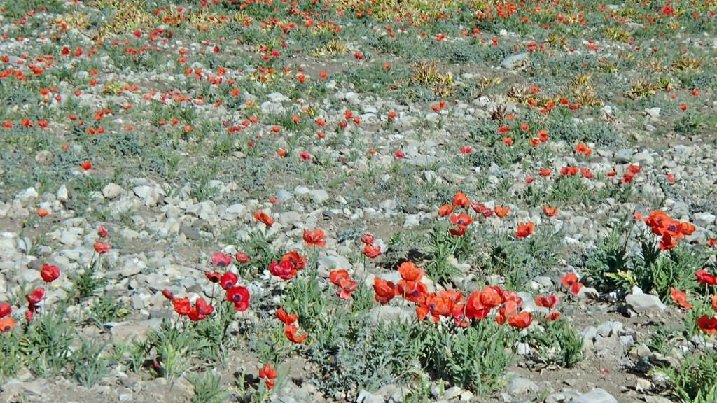 دشت شقایق میری لار - خرداد ۱۳۹۴