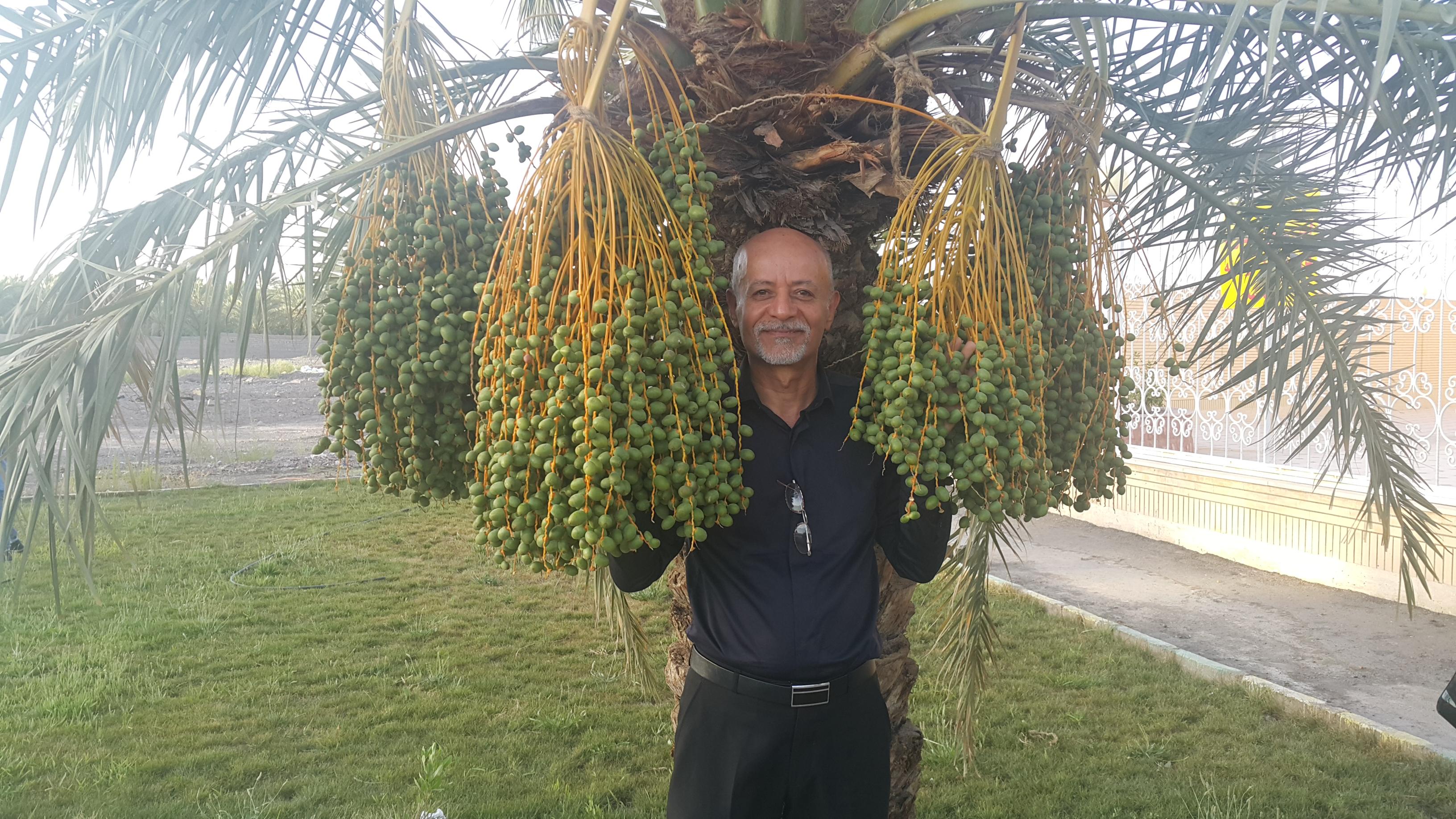 درخت خرما – بم و گرمای ۵۰ درجه