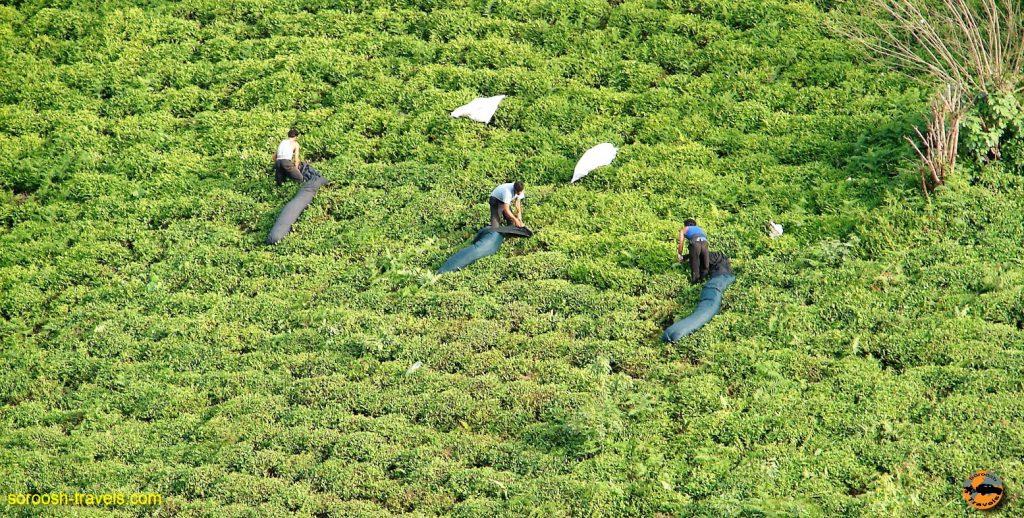 لاهیجان ، مزارع چای – بهار ۱۳۸۷