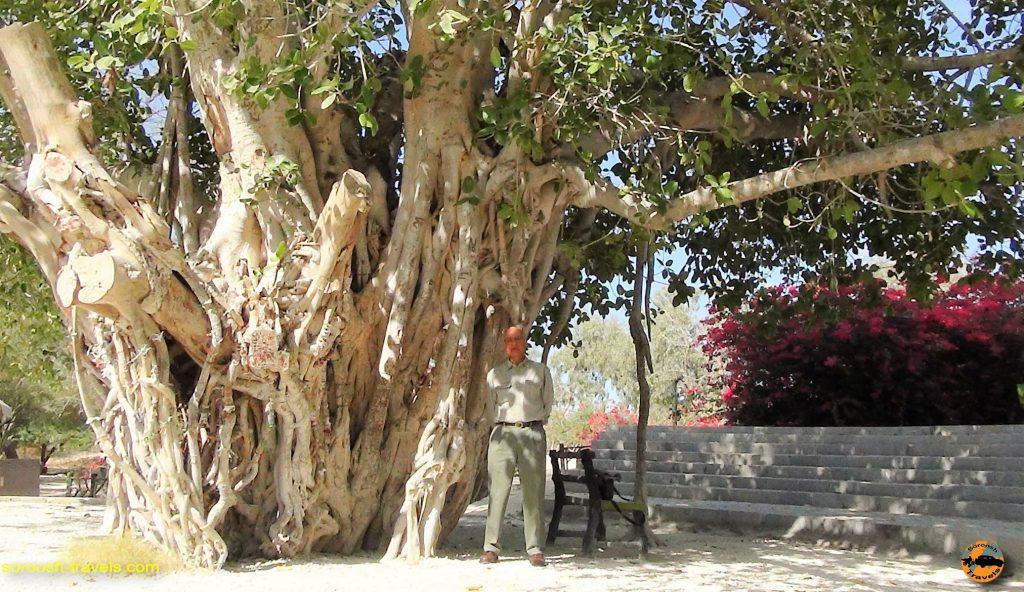 درخت انجیر معابد در جزیره کیش - پاییز 1393