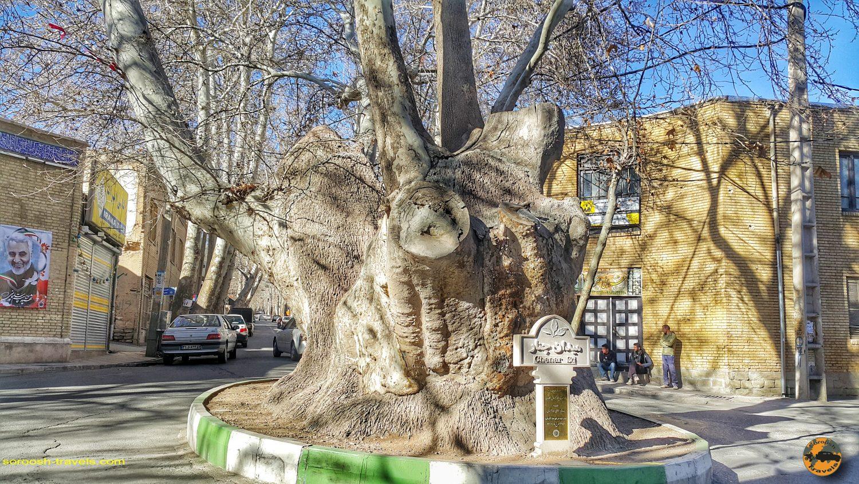 درخت ۲۵۰۰ ساله محلات - زمستان ۱۳۹۸