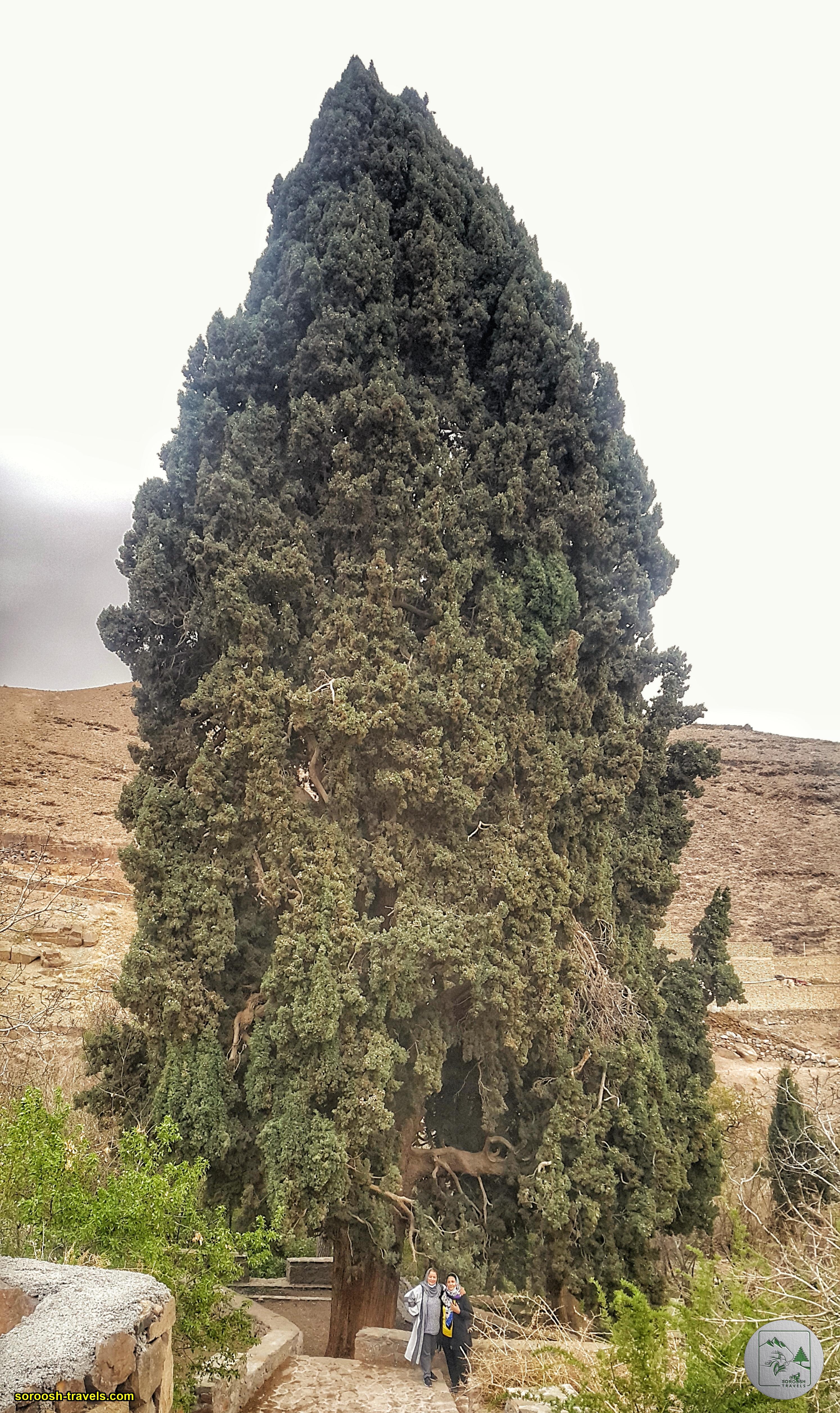 درخت کهنسال روستای دربید در شمال یزد - نوروز 1400